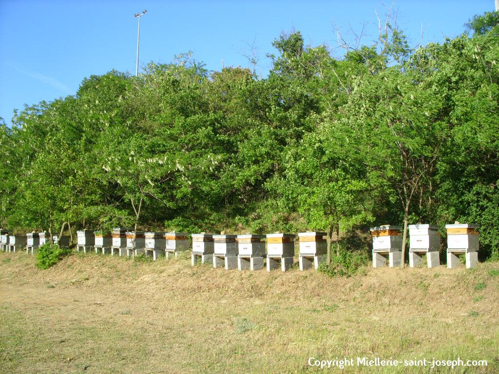 Le rucher à gelée royale juste derrière la miellerie (Drôme, France). Les acacias sont en fleurs.