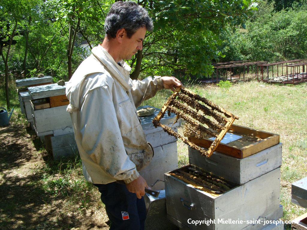 Récolte du cadre encore couvert d'abeilles