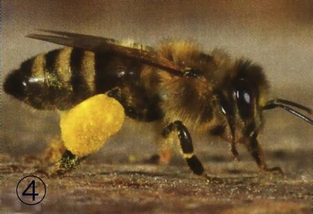 Pelotte de pollen portée par une abeille ouvrière