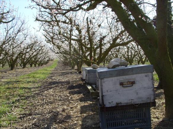 Ruches en pollinisation dans un verger d'abricotier