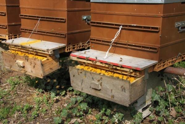 Trappes à pollen en fonction sur les ruches - tiroirs pleins !