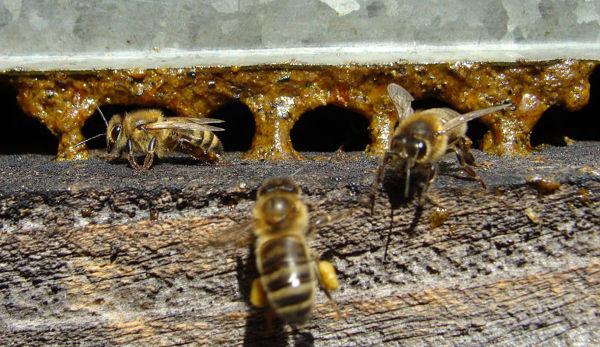 Arches de propolis à l'entrée de la ruche