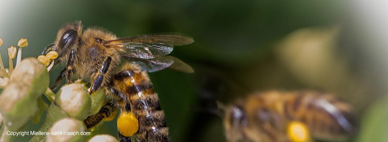 Abeille qui récupère le pollen d'une fleur